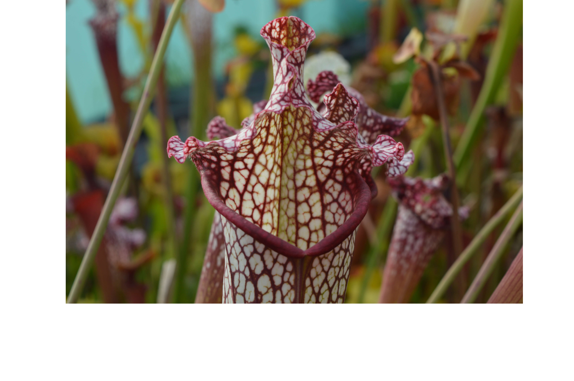 Red and white pitcher plant
